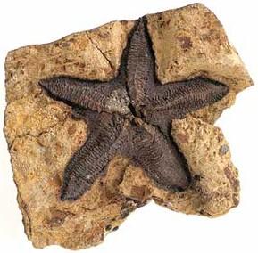 420 ملین سال پرانا سی سٹار کا فوسل